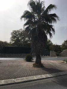 Una delle palme cariche di fronde